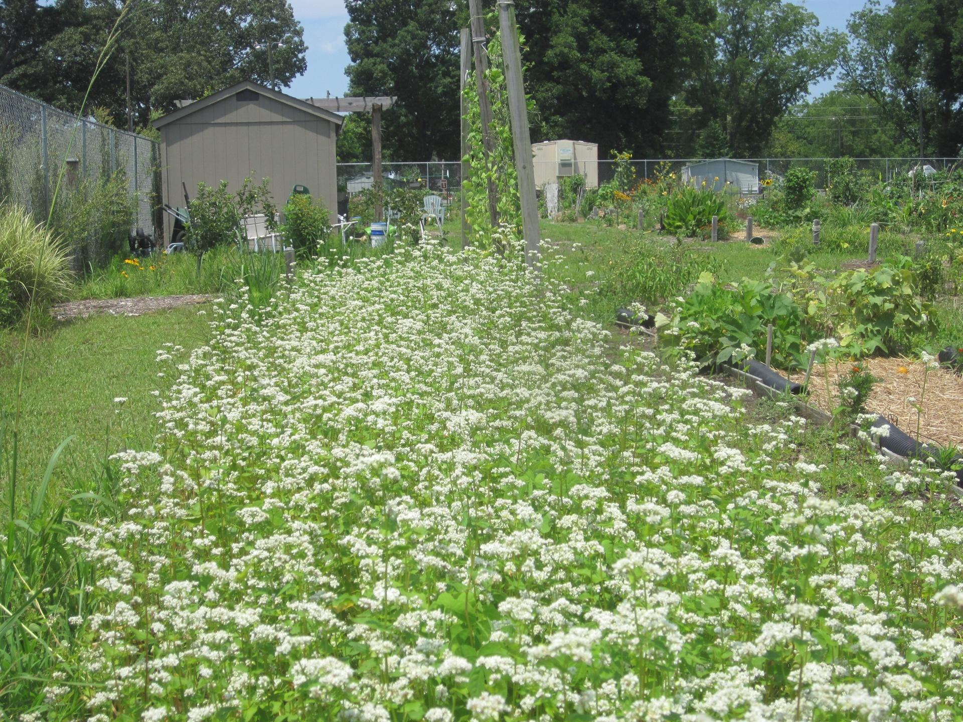Buckwheat flowering
